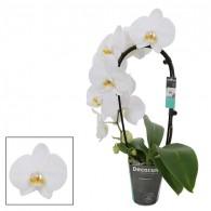 Каскадная орхидея