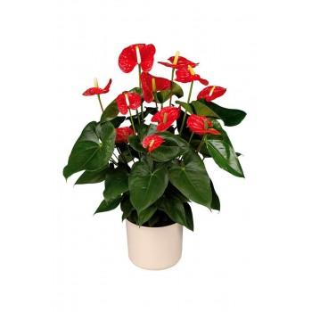 Цветок красный антуриум XXL