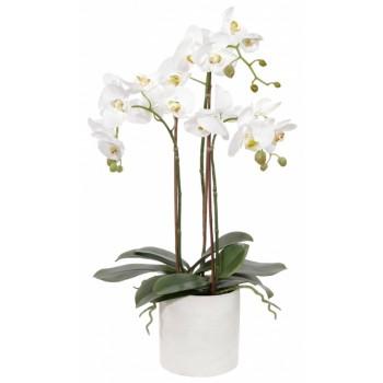 Орхидея королевская