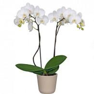 Орхидея фаленопсис 2 ветки