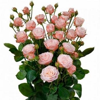 Пионовидная кустовая роза «Мадам Бомбастик»