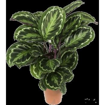 Комнатное растение Калатея XL