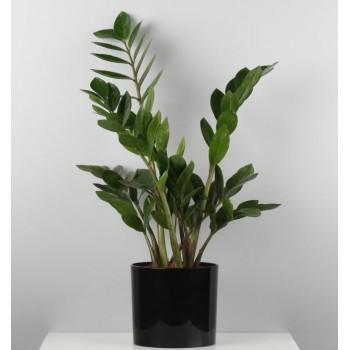 Растение замиокулькас XL